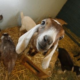 Have a goat herd - Bucket List Ideas