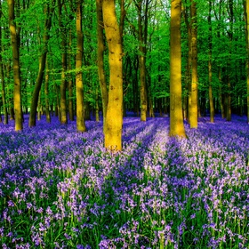 Go to the bluebell woods in England - Bucket List Ideas