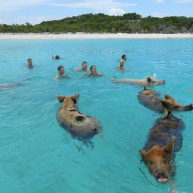 Visit the Exumas and swim with the swimming pigs - Bucket List Ideas