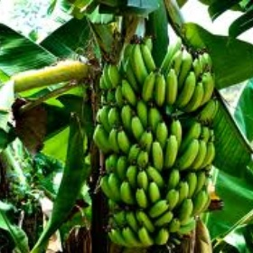 See a banana tree - Bucket List Ideas