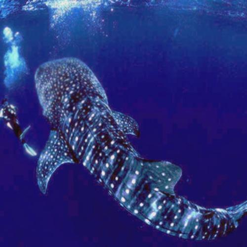 Swim with whale sharks - Bucket List Ideas