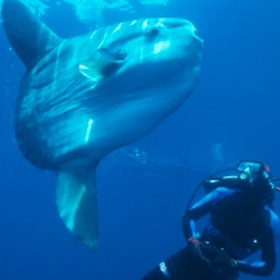 Swim with a Mola Mola - Bucket List Ideas