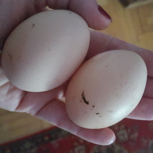 To hold a warm egg right from the chicken - Bucket List Ideas