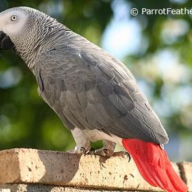Get a Congo African Grey parrot - Bucket List Ideas
