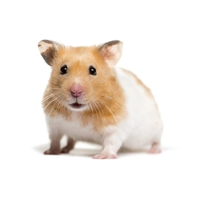 Own a pet hamster - Bucket List Ideas