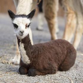 Cuddle an alpaca - Bucket List Ideas