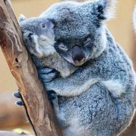 Hug a kuala - Bucket List Ideas