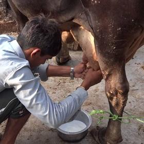 Milk a cow - Bucket List Ideas