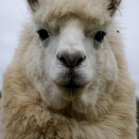 Hug a Lama - Bucket List Ideas
