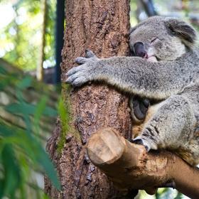 Hug a koala bear in australia :) - Bucket List Ideas