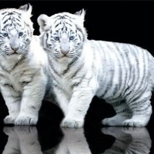 Hold a Baby White Tiger - Bucket List Ideas